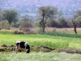 mizque_vaca